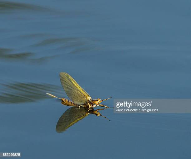 golden mayfly (hexagenia) lands on the surface of the water - mayfly stock pictures, royalty-free photos & images