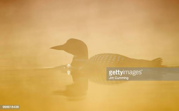 golden mist loon - common loon stock pictures, royalty-free photos & images