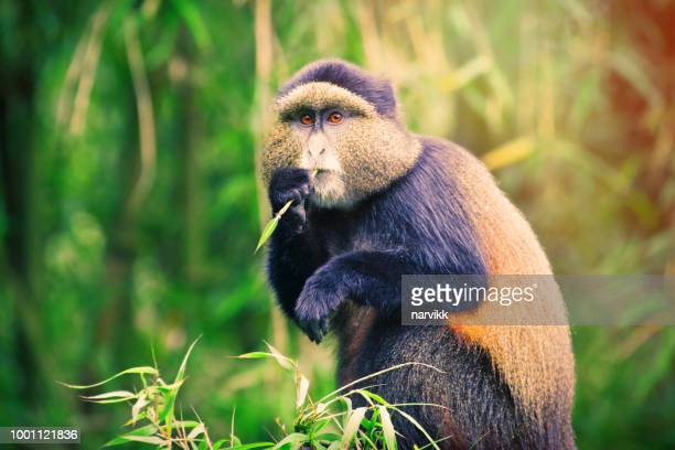 golden monkey eating bamboo leafs - rwanda stock pictures, royalty-free photos & images