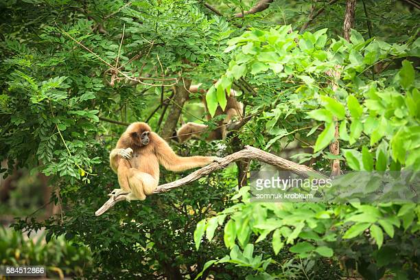 Golden monkey eating banana.