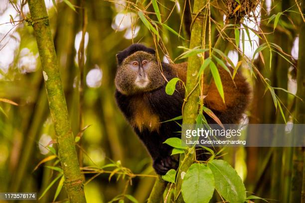 golden monkey in volcanoes national park, rwanda, africa - mammal stock pictures, royalty-free photos & images