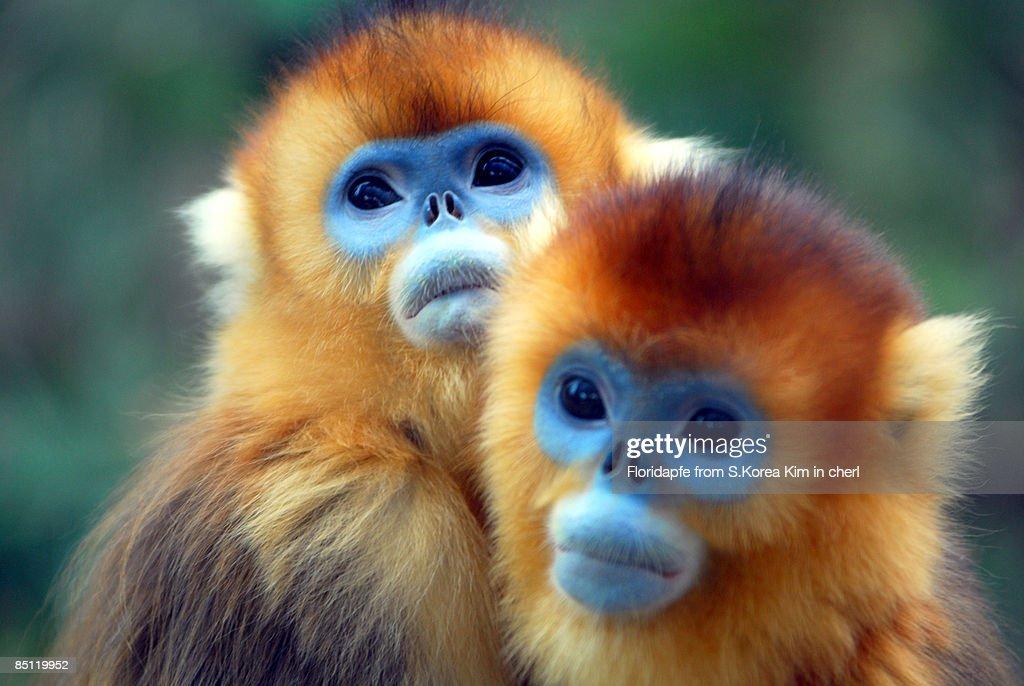 Golden monkey : Stock Photo