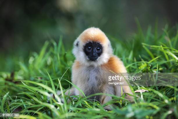 golden monkey - young animal stock pictures, royalty-free photos & images