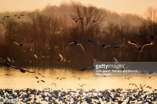 golden morning light and snow geese in backlighting at middle creek, pennsylvania - 水鳥 ストックフォトと画像