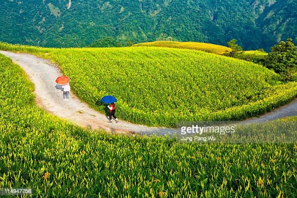 golden needle fields - comté de hualien photos et images de collection