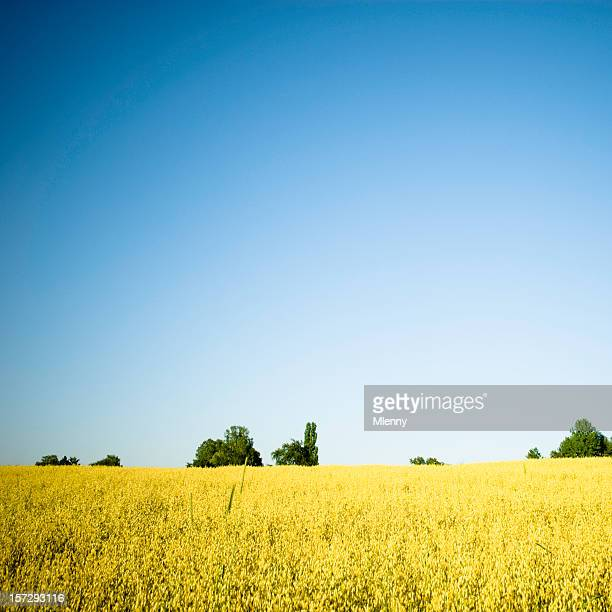golden oats field - mlenny stock pictures, royalty-free photos & images