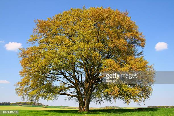 Golden old Beech Tree in early Spring