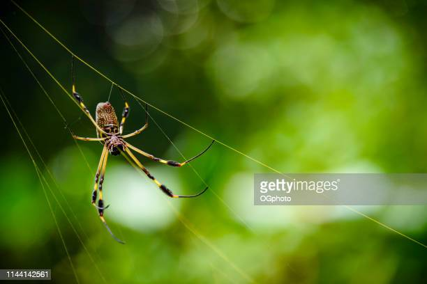 golden orb spider in it's golden colored web - ogphoto stock photos and pictures