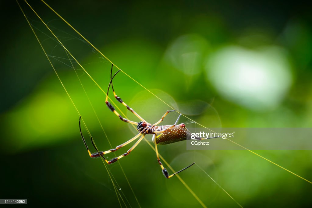 Golden orb spider in it's golden colored web : Stock Photo