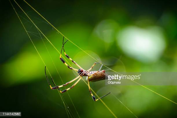 golden orb spider in it's golden colored web - ogphoto foto e immagini stock