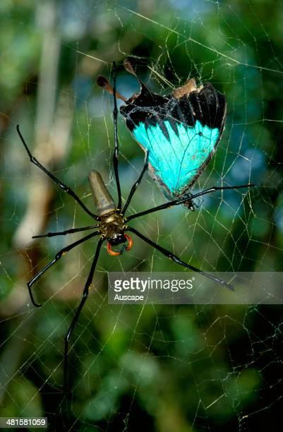 Golden orb-weaver, Nephila maculata, female spider with captured Ulysses butterfly, Australia