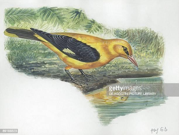 Golden Oriole drinking water illustration