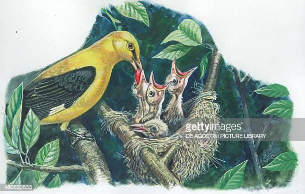 Golden Oriole feeding chicks in the nest illustration