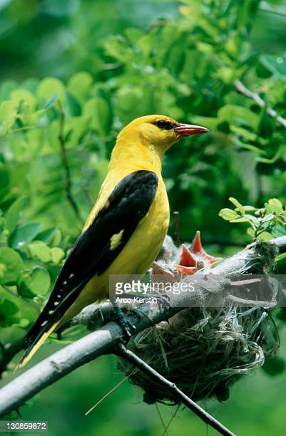 Golden Oriole, male with chicks at nest, Bulgaria (Oriolus oriolus)