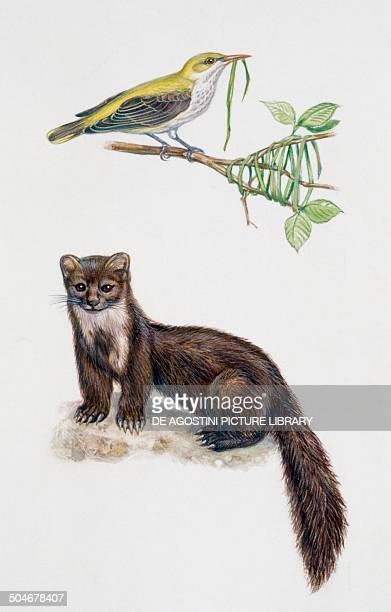 Golden Oriole Oriolidae and Beech marten or Stone marten Mustelidae drawing
