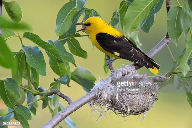 Golden Oriole -Oriolus oriolus-, adult male, calling at the nest, in a walnut tree, Bulgaria
