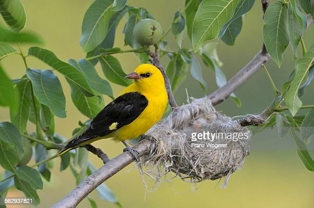 Golden Oriole -Oriolus oriolus-, adult male, watching over the nest, in a walnut tree, Bulgaria