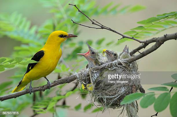 Golden Orioles -Oriolus oriolus-, adult male at the nest in an acacia tree, chick begging for food, Bulgaria