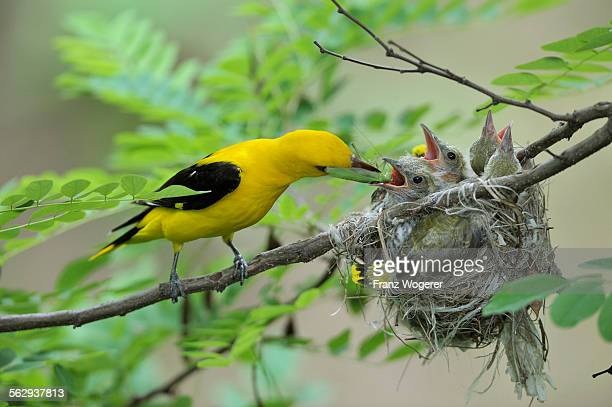 Golden Orioles -Oriolus oriolus-, adult male feeding chicks in the nest with a grasshopper, in an acacia tree, Bulgaria