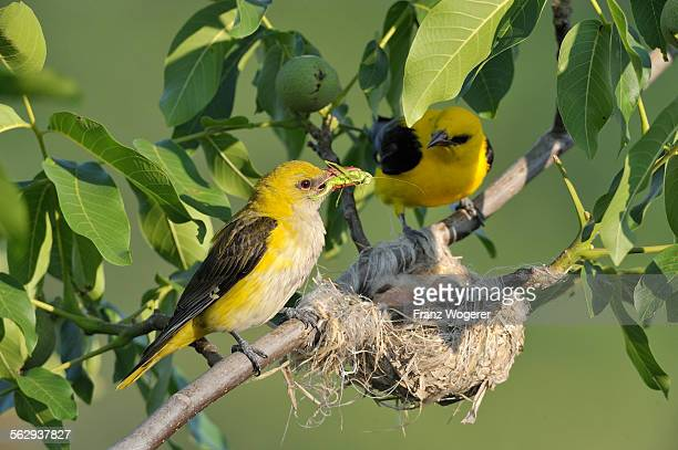 Golden Orioles -Oriolus oriolus-, male and female at the nest in a walnut tree, female holding grasshopper in beak as feed, Bulgaria