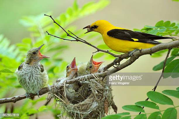 Golden Orioles -Oriolus oriolus-, young bird, chick, begging, adult male feeding the birds with a white mulberry, nest in an acacia tree, Bulgaria