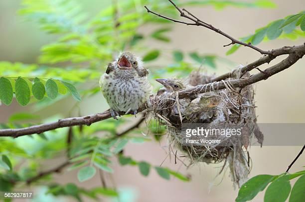 Golden Orioles -Oriolus oriolus-, young bird, chick, precocial bird, begging at the nest in an acacia tree, Bulgaria