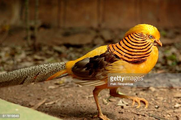 golden pheasant - iñaki respaldiza photos et images de collection