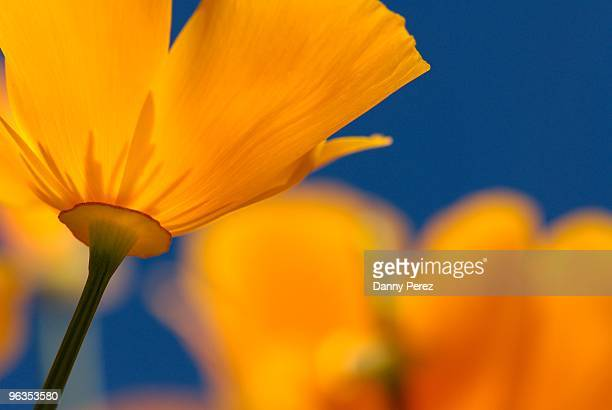 golden - california golden poppy stock pictures, royalty-free photos & images