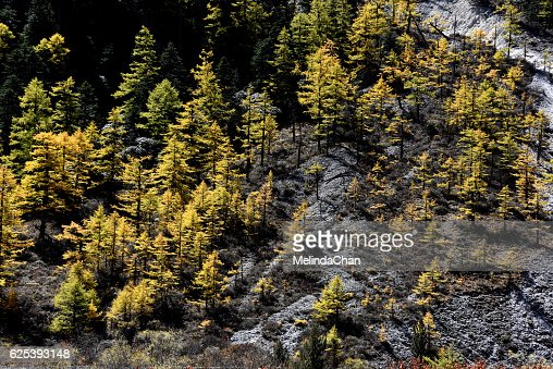 golden pine trees in yading nature reserve located southwest of