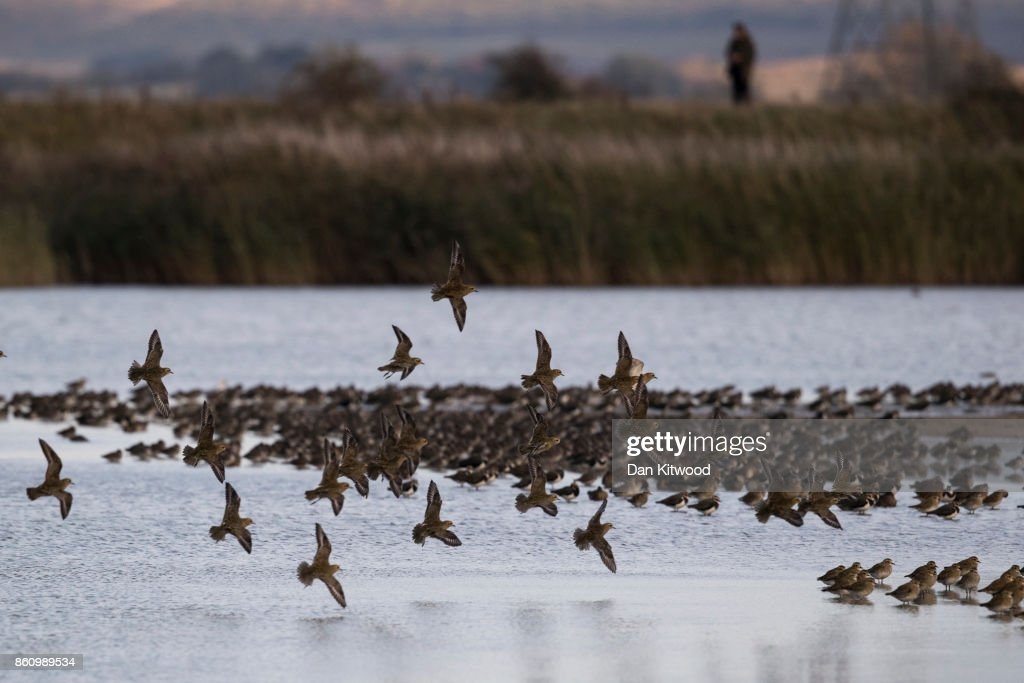 Golden Plover circle over a pond at the Kent Wildlife Trust's Oare Marshes in the Thames Estuary on October 13, 2017 in Faversham, England.