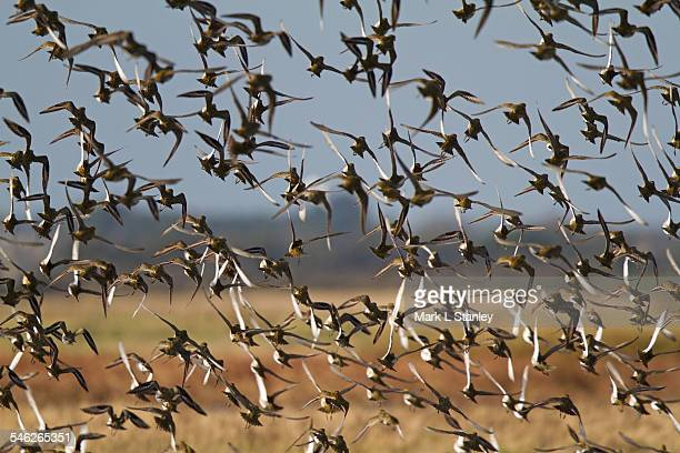 golden plover - pluvialis apricaria - flock of birds stock pictures, royalty-free photos & images