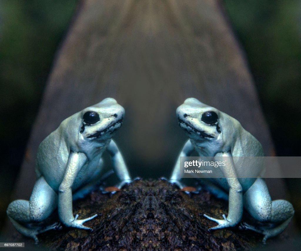 Golden Poison Dart Frog : Stock Photo