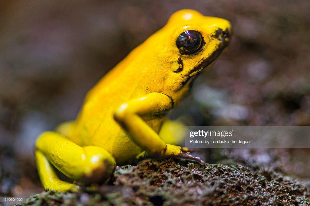 Golden poison frog : Stock Photo