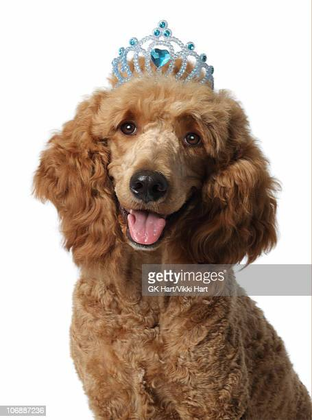 golden poodle mixed breed dog wearing blue tiara - goldendoodle stock photos and pictures
