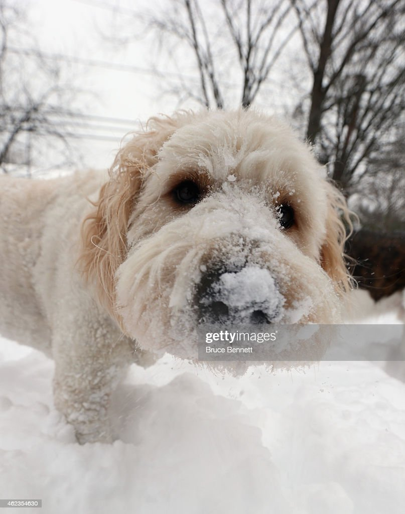 A golden poodle stands with snow in its nose on January 27, 2015 in Old Bethpage, New York. The Long Island region received between twelve and thirty inches of snow overnight into midday Tuesday from Winter Storm Juno.
