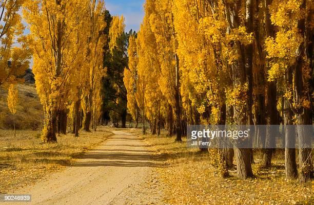 Golden poplar trees in Autumn
