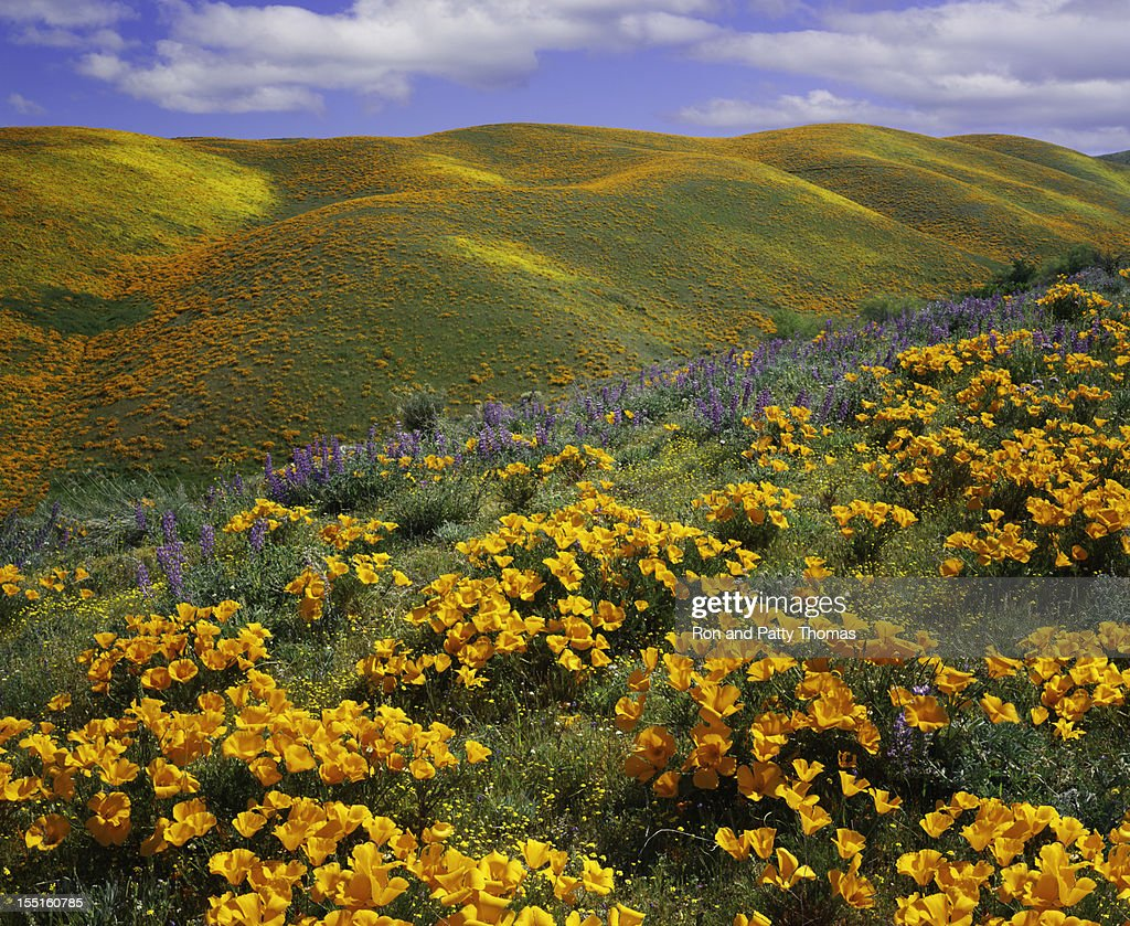 California Golden Poppy Stock Photos And Pictures Getty Images
