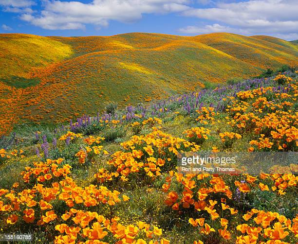 Golden poppies on a field next to hills in California