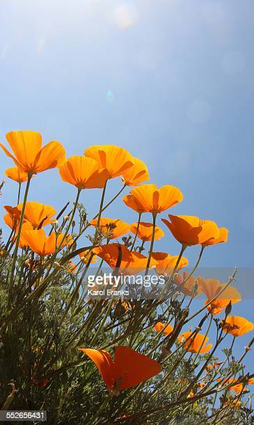 golden poppies reaching for the sun - california golden poppy stock pictures, royalty-free photos & images