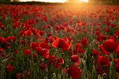 Golden poppy field