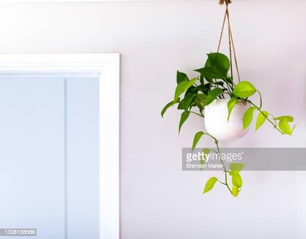 golden pothos devils ivy indoor plant vine in a hanging pot near doorway - zimmerpflanze stock-fotos und bilder