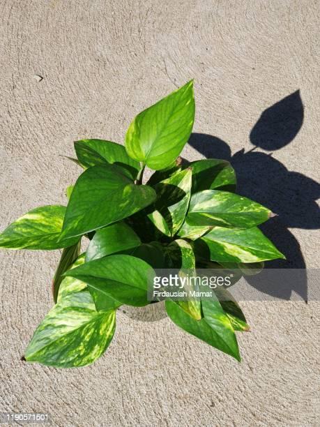 golden pothos, devil's ivy - 自生 ストックフォトと画像