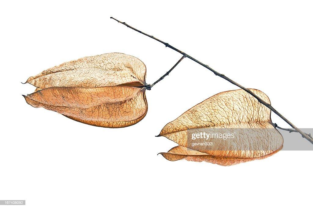 Golden Rain tree Pflanzensamen pods (koelreuteria paniculata) : Stock-Foto