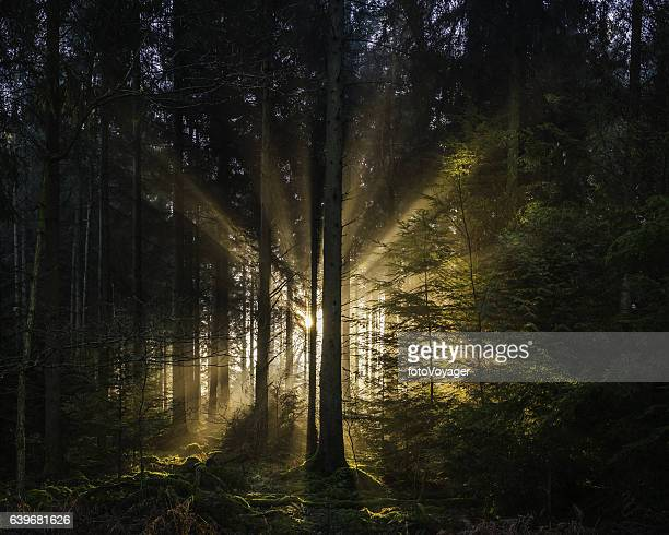 golden rays of dawn light shining through idyllic forest glade - zonnestraal stockfoto's en -beelden
