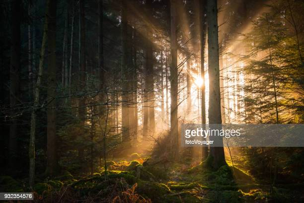 Golden rays of light streaming through tranquil woodland forest glade