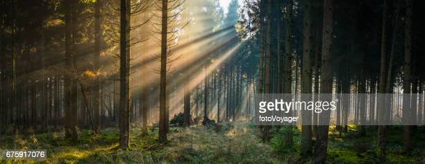 Golden rays of sunlight streaming through idyllic forest glade panorama