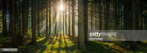golden rays sunlight streaming deep in green forest woodland panorama - woodland stock pictures, royalty-free photos & images