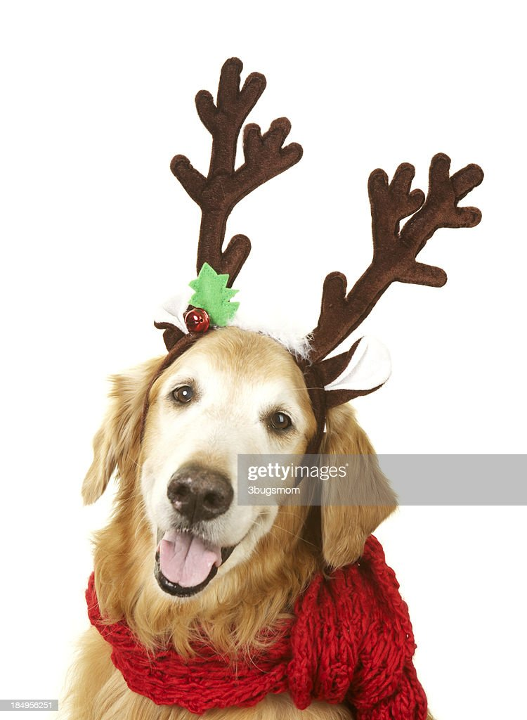 Golden Retreiver Dog With Reindeer Antlers And Red Scarf