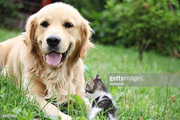 golden retriever and a small kitten outdoor. - dog and cat stock photos and pictures