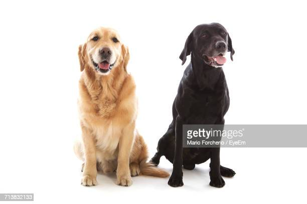 golden retriever and black labrador sitting on white background - golden retriever stock pictures, royalty-free photos & images